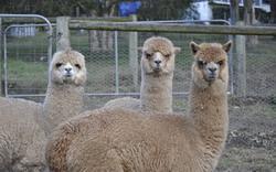 Regal House Alpacas