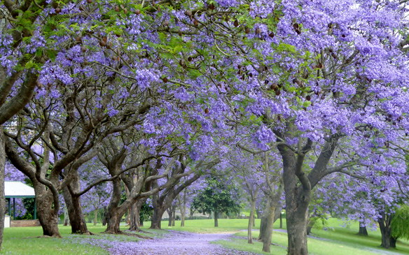 Jacaranda time in the Hawkesbury!