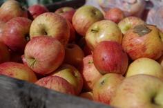 Pine Crest Orchard Fruit Picking