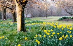 Daffodil Festival
