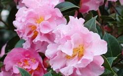 Wildwood Garden Camellia Show