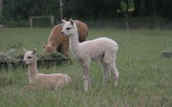 Walkley Fields Alpacas Stud