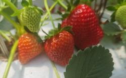 Strawberry Picking at Bilpin Fruit Bowl